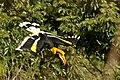 Great Hornbill in flight 2.jpg