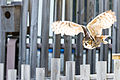 Great Horned Owl Flying (20087931318).jpg