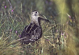 Great Snipe - Bierbza Marsh - Polanda 94 (3) (15842547022).jpg