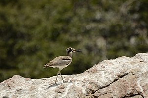 Great thick-knee (Esacus recurvirostris) from Ranganathittu Bird Sanctuary JEG4100.jpg