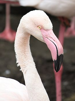 Greater Flamingo 654.jpg
