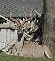 Greater Kudu (3050894730).jpg