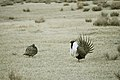 Greater Sage-Grouse (7094209181).jpg