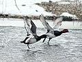 Greater Scaup & Redhead, Leslie E Tassell Park, Ada, MI, 30 January 2014 (12222547713).jpg