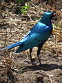 Greater blue eared Starling Lamprotornis chalybaeus in Tanzania 3682 cropped Nevit.jpg