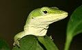 Green Anole (41903883).jpg