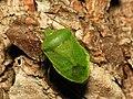 Green Stinkbug - Flickr - treegrow.jpg
