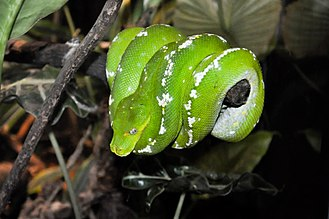 Green tree python - A fairly variegated green tree python at rest; showing off its distinctive angular snout.