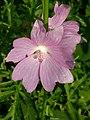 Grenchen - Malvaceae.jpg