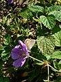 Grenchen - Polyommatus icarus (female, showing wing-underside) on purple flower.jpg