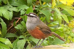 Grey-breasted Laughing thrush1.jpg