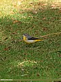 Grey Wagtail (Motacilla cinerea) (22433769546).jpg