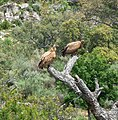 Griffon Vultures above a dead horse. - Flickr - gailhampshire (1).jpg