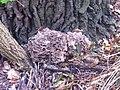 Grifola frondosa Klapperschwamm.jpg