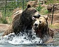 Grizzly Bears Playing (2827672027).jpg
