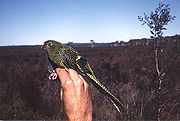 A green parrot with black-edged feathers and wing-tips, and a light green underside