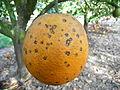 Guignardia citricarpa 312981.jpg