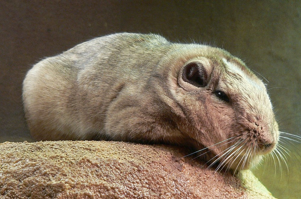 The average adult weight of a Common gundi is 289 grams (0.64 lbs)
