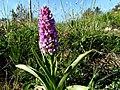 Gymnadenia conopsea - BUSA - IB-002 (Orquídia mascle).jpg