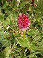 Gymnadenia rubra RHu 08.JPG