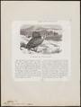 Gyps rüppellii - 1872 - Print - Iconographia Zoologica - Special Collections University of Amsterdam - UBA01 IZ18100087.tif