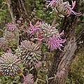 H20140611-2855—Salvia leucophylla—RPBG (14534202491).jpg