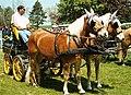 Haflinger wagonette brustblatt.jpg