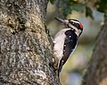 Hairy Woodpecker (39165383614).jpg