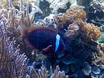 Hal - Amphiprion nigripes - 1.jpg