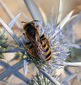 Halictus scabiosae. Female - Flickr - gailhampshire (2).jpg