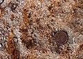 Halimeda fossil.jpg