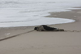 Harp seal at False Cape2.jpg