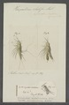 Harpacticus chelifer - - Print - Iconographia Zoologica - Special Collections University of Amsterdam - UBAINV0274 100 02 0009.tif