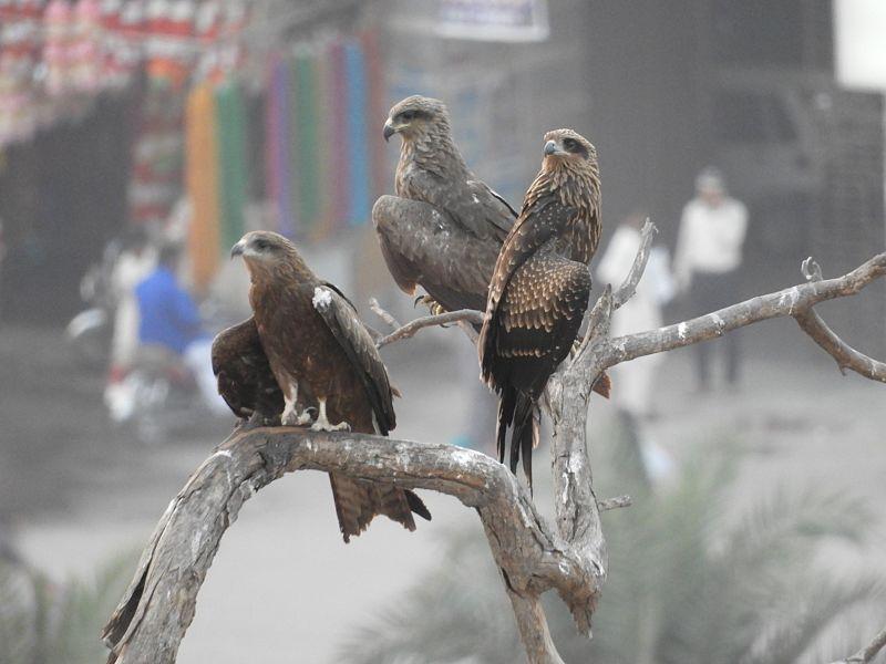 File:Hawks insight for qasim.jpg