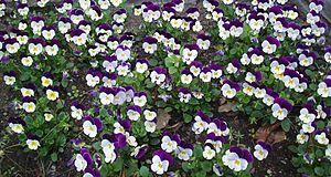 Viola tricolor - Viola tricolor in a Norwegian flowerbed