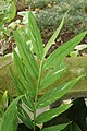 Hedychium 'Dr. Moy' Leaves 2000px.jpg