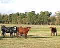 Heifers in pasture east of Brettenham - geograph.org.uk - 1733730.jpg
