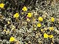 Helianthemum caput-felis (plant).jpg