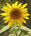 Helianthus-Sunflower (4).JPG