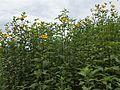 Helianthus tuberosus kz7.jpg