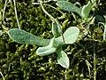 Helichrysum arenarium 2019-04-05 9211.jpg