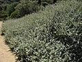 Helichrysum petiolare 1 (Corse).JPG