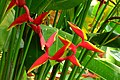 Heliconia rauliniana (14732361487).jpg