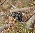 Helina reversio.Muscidae. Mating - Flickr - gailhampshire.jpg