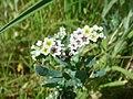 Heliotropium-curassavicum-20080327.JPG