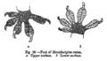 HemidactylusFeet.png