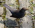 Hen Blackbird waiting for worms whilst I dig - Flickr - gailhampshire.jpg