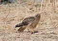 Hen Harrier (Circus cyaneus) (47484627162).jpg