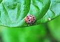 Henosepilachna vigintioctopunctata, Burdwan, West Bengal, India 04 10 2012.jpg
