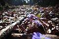 Hepatica nobilis 0550.jpg